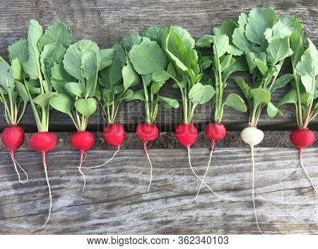 Harvest Radishes, Red And White Radishes. Growing Organic Vegetables On Your Own Vegetable Garden. C