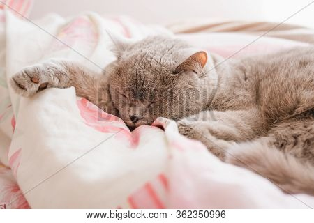 The Gray Cat Sleeps On The Couch. Pet. A Scottish Cat Sleeps In Bed.
