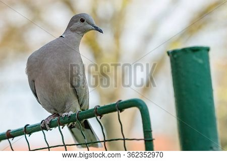 Close Up Portrait Of A Grey Eurasian Collared Dove With Red Eye Perching On A Green Wire Mesh. Blurr