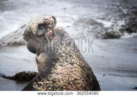 Close Up Profile Of Male Northern Elephant Seal With Large Proboscis And Battle Scars And Wounds.