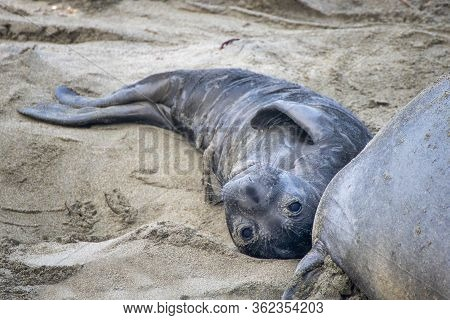 Newborn Northern Elephant Seal Pup With Umbilical Cord Still Attached Looks At Camera On California