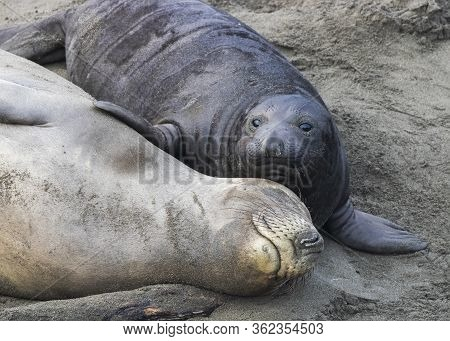 Adorable Sweet Moment Between Northern Elephant Seal Pup With Fin On Mother Who Is Asleep Smiling On