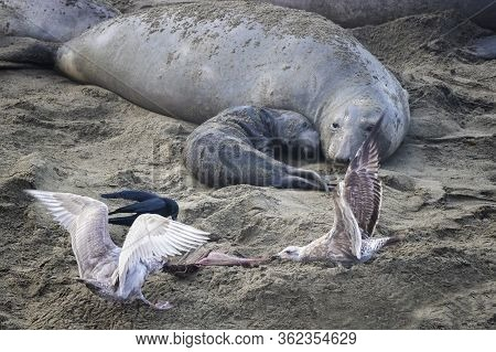 Mother Northern Elephant Seal And Newborn Pup Watch As Seagulls Fight Over Afterbirth On The Beach.
