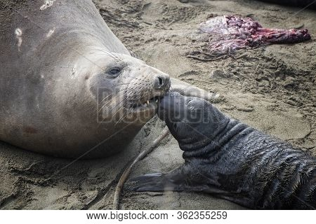 Mother And Pup Northern Elephant Seal Bond Immediately Following Pups Birth On A California Beach.