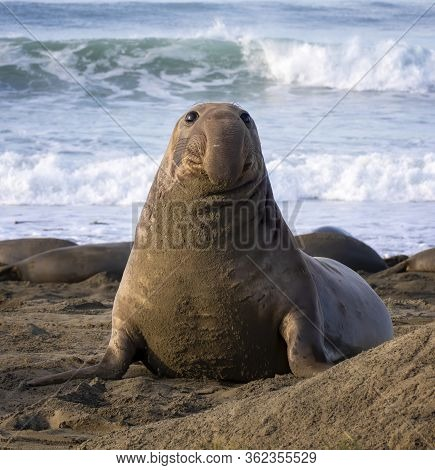 Young Male Northern Elephant Seal With Dangling Proboscis Nose Sits Up On California Beach In Mornin