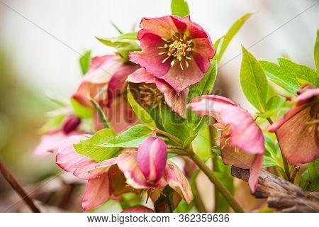 hellebore flowers in the garden