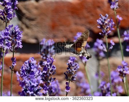 Humming-bird Hawk-moth Flying And Drinking Nectar From Lavender Flower With Thin Long Tongue. Blurre