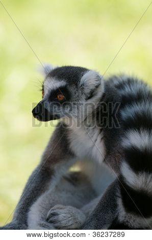 Closeup Profile Portrait Of Lemur Looking On The Left