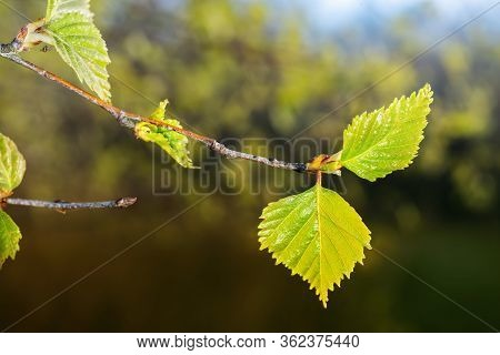 Birch Branch With Green Leaves In Spring. Close Up.