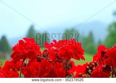 Red Garden Geranium Flowers , Close Up Shot, Selective Focus
