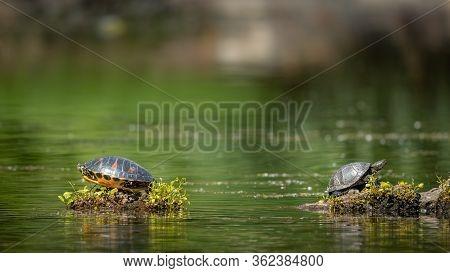 European Pond Turtle (emys Orbicularis) And America Pond Slider (trachemys Scripta) Sitting In The S