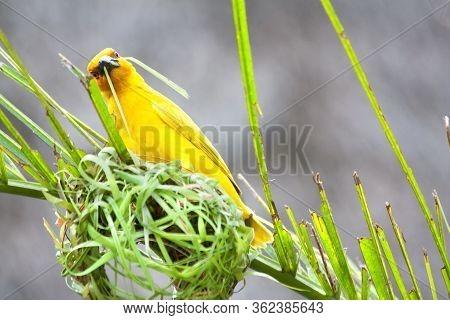 Golden Palm Weaver Bird (ploceus Bojeri) Weaving A New Nest