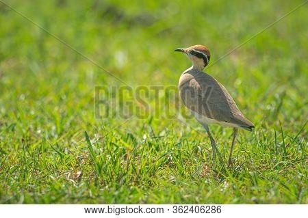 Temminck Courser Walks Left Across Sunlit Grass