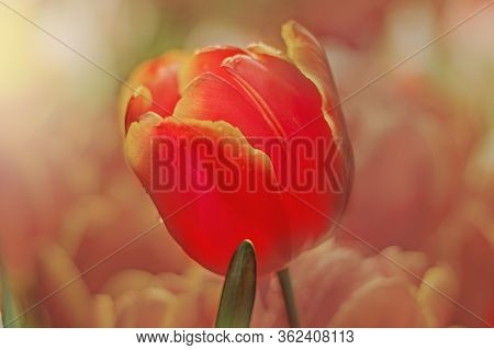 Close-up Of A Bright Pink Tulip Flower On A Blurry Background Of Blooming Tulips. Spring, Full Bloom