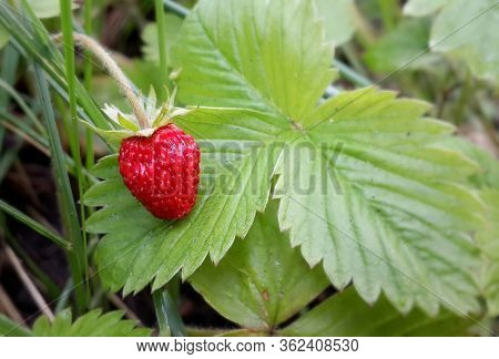 Fresh Wild Strawberry On Green Leaves Background Close-up