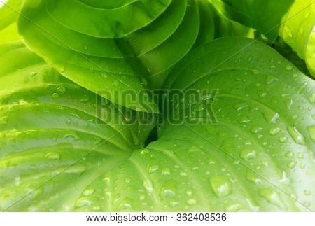 Big Green Leaves Hosta With Water Drops. Close-up Plant Leaf Texture