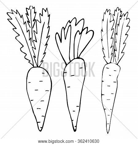 Cartoon of three carrots without fill on an isolated white background. Set. Doodle style. Vector and stock illustration. For print on fabric, clothes, wallpaper, icon for social network.