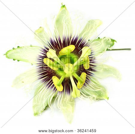 Jhumko Lata or Passion flower