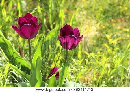 Purple Tulips In A Green Garden, Back Lit