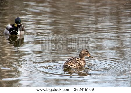 A Pair Of Ducks Swims In The Water, One Duck Searches For Food, The Second Duck Cleans Feathers. Sel