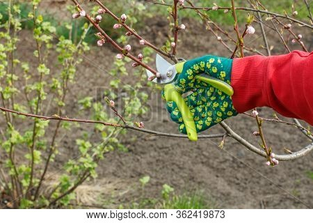 Male Farmer Looks After The Garden. Spring Pruning Of Fruit Tree. Man In A Glove With A Pruner Shear