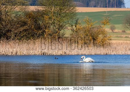 Wild Bird Mute Swan (cygnus Olor) Making Love, On Pond With Blue Sky Reflection, Czech Republic Euro
