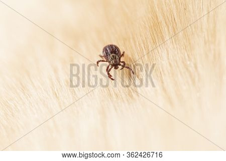 Ornate Dog Tick, Meadow Tick Or Marsh Tick Hiding In Dog Fur