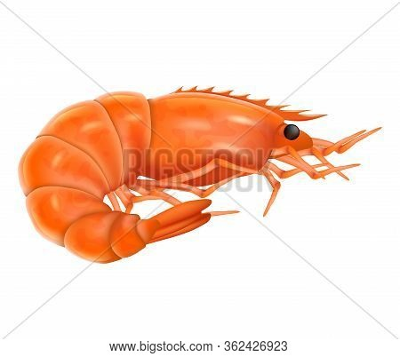 Cooked Shrimp Realistic Vector Illustration. Boiled Shrimp Isolated On A White Background.