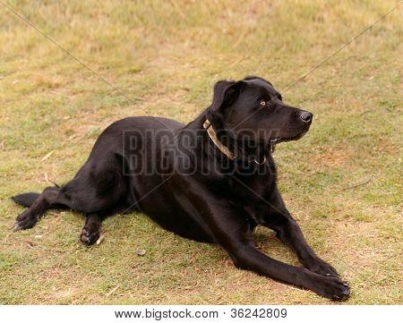 Australian working dog black kelpie pure breed