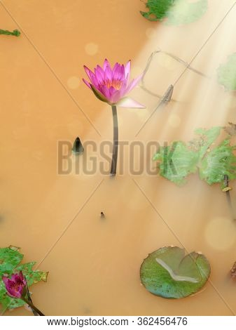 Close up beautiful red lotus water lily flowers and beam of light on water pond in garden