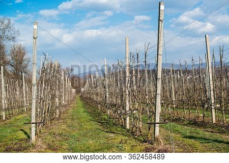 Fruit Orchard During Early Spring. Leafless Young Fruit Trees In An Early Spring Garden. Apple Trees