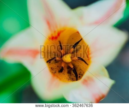 Spring Flowering Of A Tulip, Tulipa L. Macro
