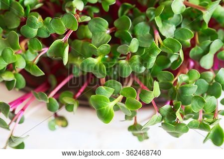 Radish Microgreens. Sprouting Microgreens. Seed Germination At Home. Vegan And Healthy Eating Concep