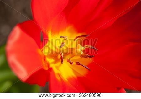 Macrophotography Of A Red Tulip Blossom With Pistil And Stamens