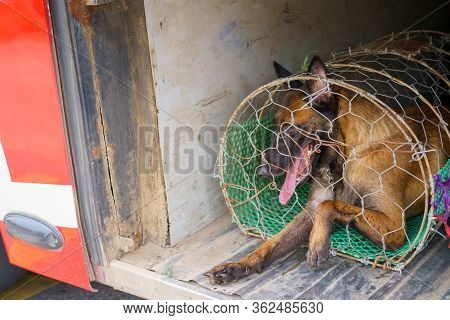 A Dog In A Cage Storage Space Under The Bus For Dissected And Dog Meat Dead Body Selling A Grilled F