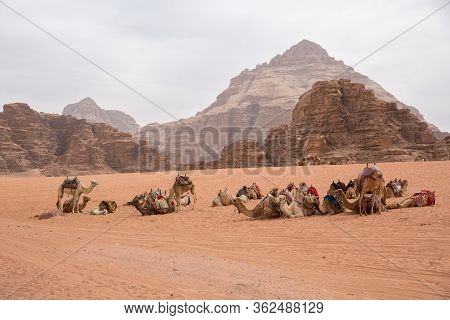 A Caravan Of Camels Fell Apart On A Halt In The Middle Of The Desert In The Background Sandy-rocky M