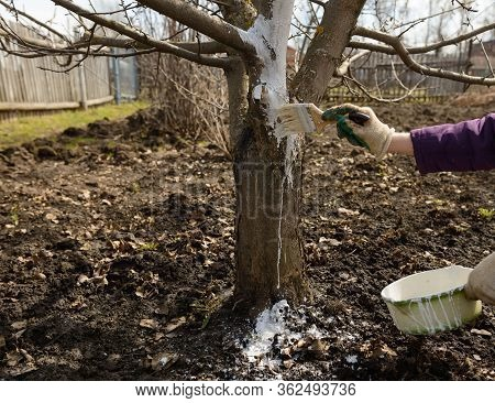 Painting A Tree Trunk With Whitewash Using A Brush