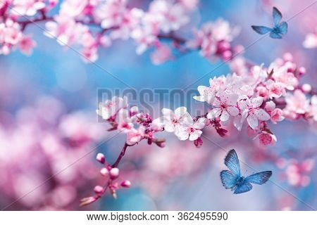 Flying Butterfly And Blossoming Pink Cherry Branch Against Blue Sky Background. Beautiful Magic Imag