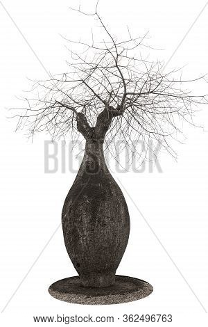 A Large Baobab Shaped Like A Bottle And Dry Spreading Branches, Close-up On A White Background. Isol