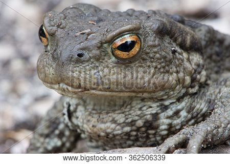 Close Up Shot Of A Large Toad Resting On A Wooden Trunk, Common Toad, European Toad