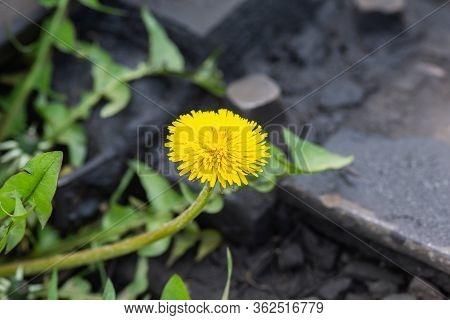 Dandelion Flower, Spring Yellow Flower On The Railway