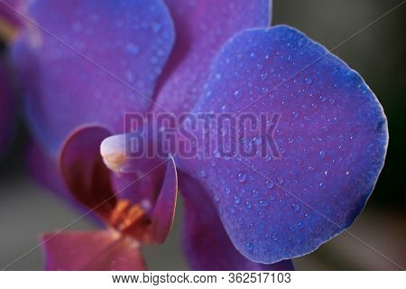 Close Up View Of Beautiful Orchid Flowers In Bright Purple Color.phalaenopsis Orchid Macro Photograp