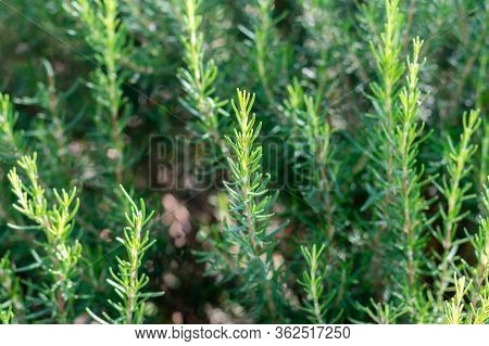 Mediterrenean Salvia Rosmarinus Commonly Known As Rosemary. Spicy Flavoring For Meal. Aromatic Seaso