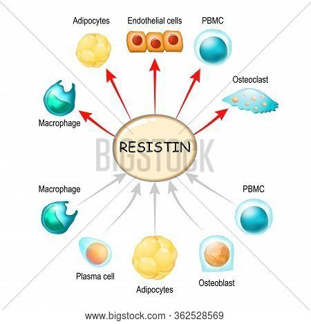 Resistin Is A Hormone From Adipose Tissue, Regulator Of Inflammation, Autoimmune Processes, Obesity