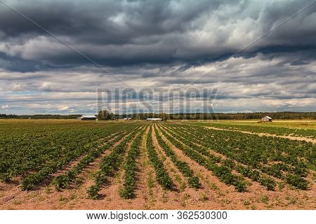The Dark Clouds Gather Over The Barn Houses By The Potato Fields On A Summer Day At The Rural Finlan