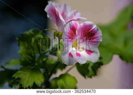 Beautiful White And Pink Flowers Of Geraniums Or Cranesbills Plant On Dark Blurred Background. House