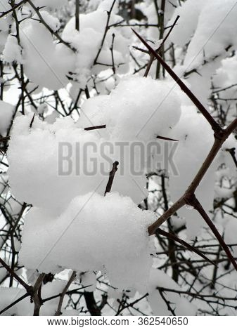 Prickly Branches Are Covered With Snow In Winter