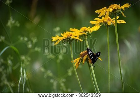Butterflies And Yellow Flowers In A Green Field