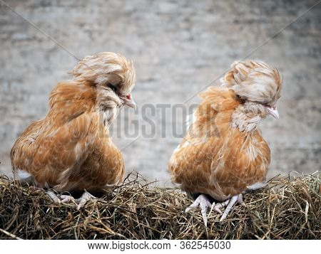 Rare Exotic Hens With Large Plumes On Their Heads