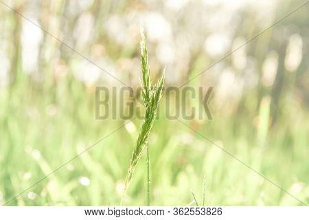 Wild Grass Stalk Backlit. Wild Grass Stalk Backlit